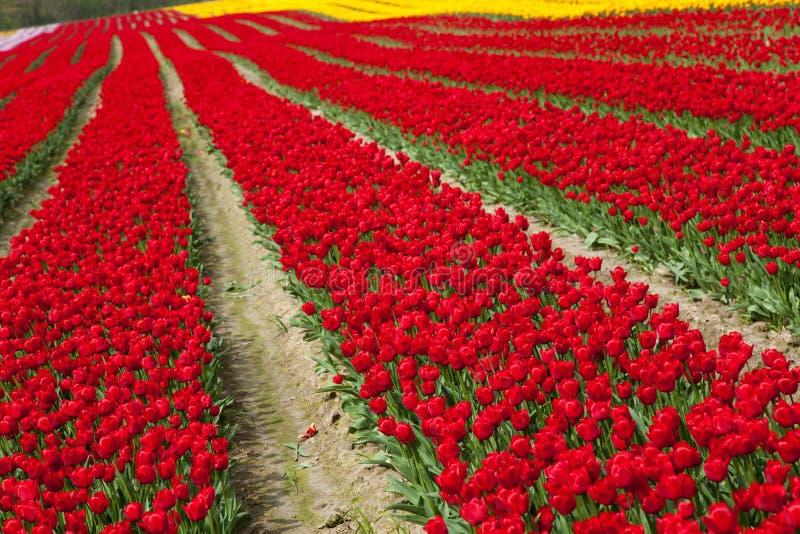 Blomningtulpanfält royaltyfria bilder