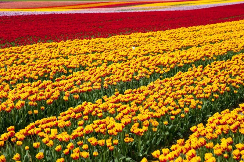 Blomningtulpanfält arkivfoton