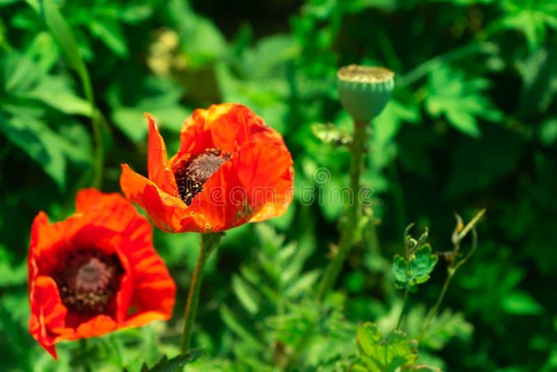 Blomningvallmo Härlig röd blomma kopiera avstånd arkivfoton
