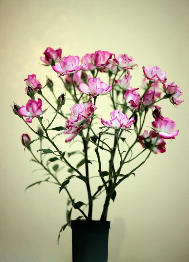 blompicoteen steg royaltyfri foto