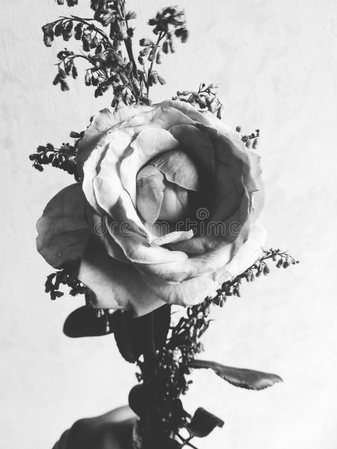 Blomsterhandlare ros, grå bild, härlig blomma m?rkt fotografering för bildbyråer