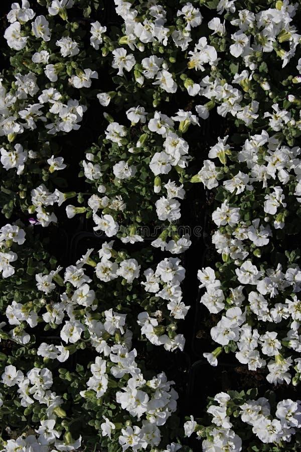 Blomsterrabatt av små vita blommor av det Aubrieta släktet fotografering för bildbyråer