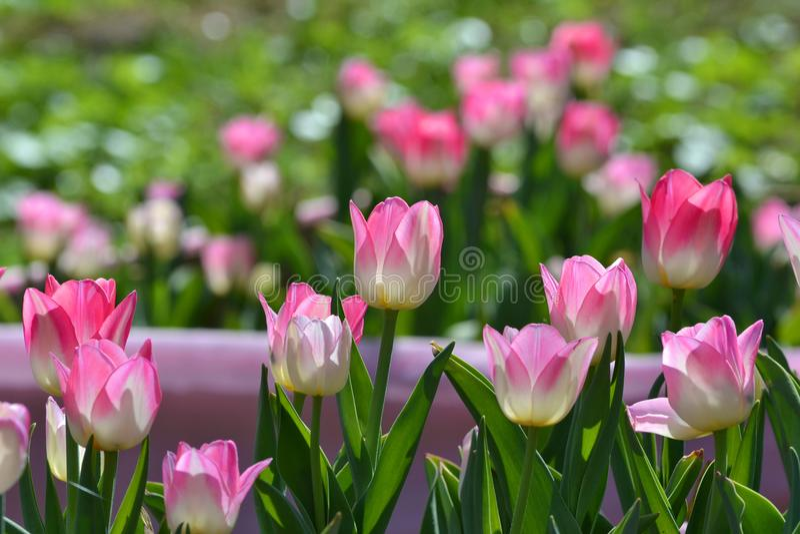 Blomsterrabatt med försiktiga ljusa rosa tulpan, bakgrund, arkivbild