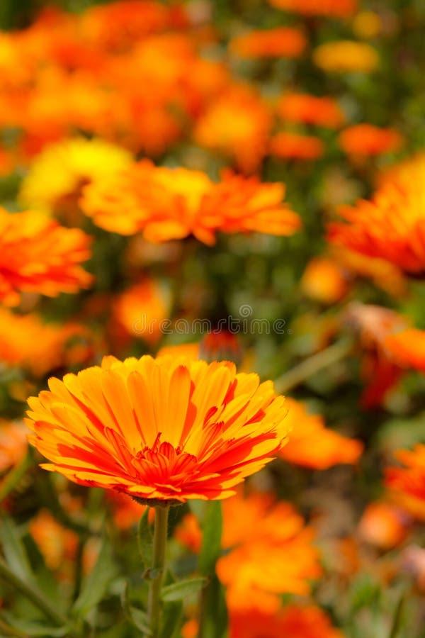 Blomsterrabattbakgrund, vårblommor arkivbild