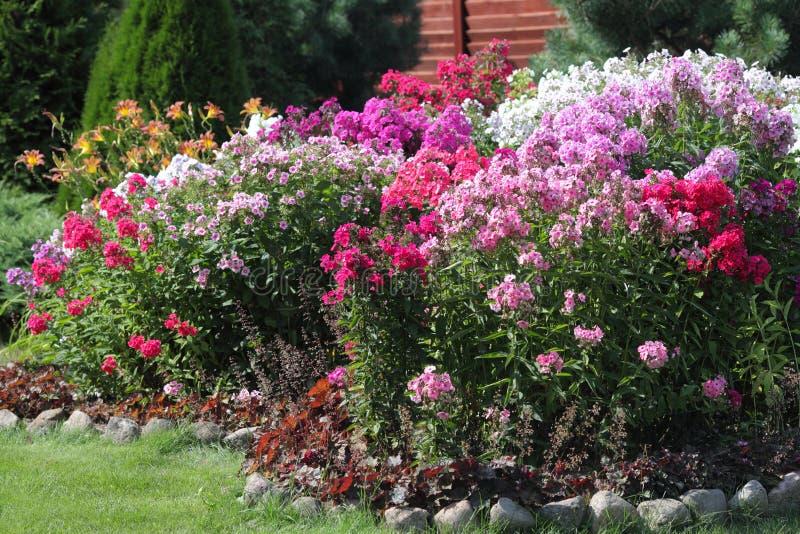 Blomsterrabattblomningflox i trädgården royaltyfri foto