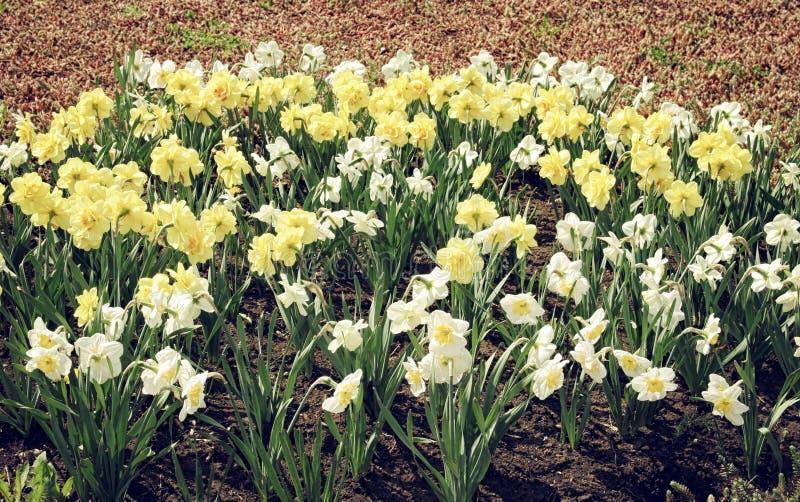 Blomsterrabatten av vit- och gulingpåskliljor stänger sig upp arkivbild