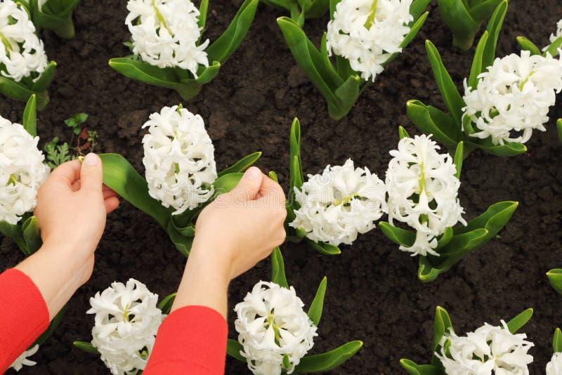 blomsterrabatten hands hyacintet som trycker på vita womans arkivbild