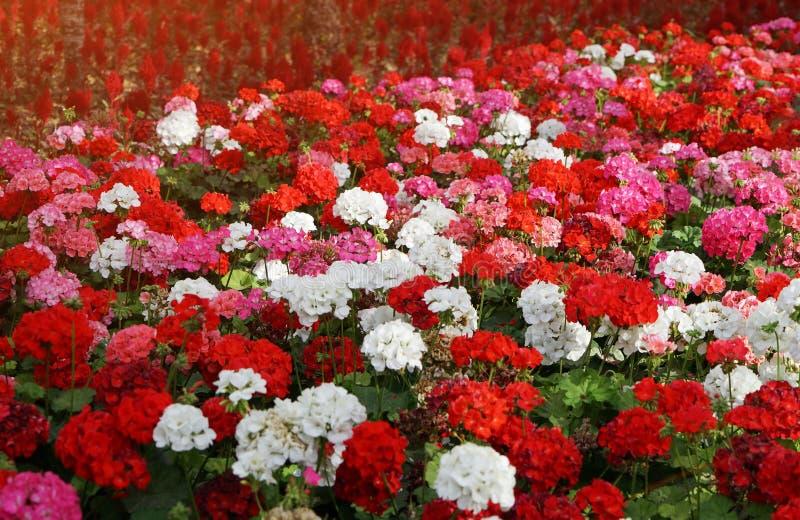 Blomsterrabatten med färgrika blommor av pelargon i sol rays royaltyfria foton