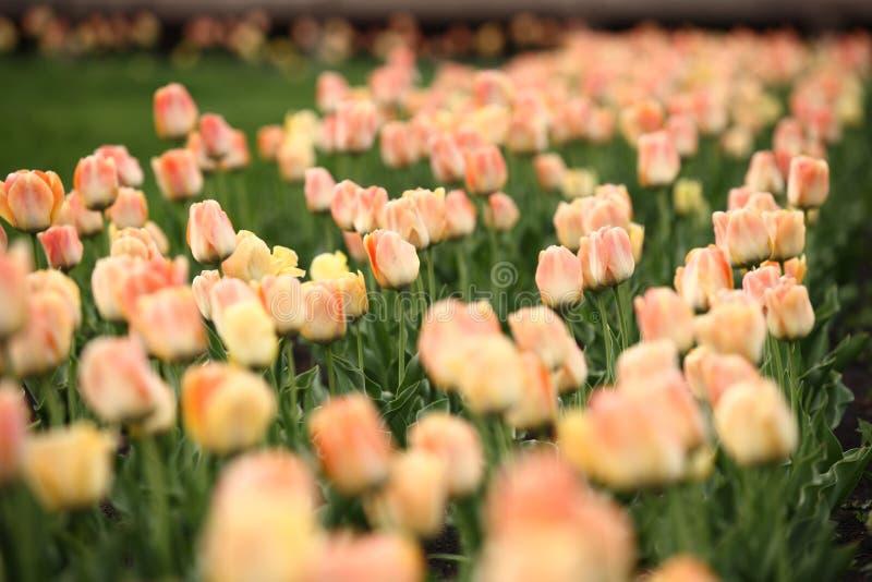 Blomsterrabatten med härliga tulpan i parkerar royaltyfria bilder