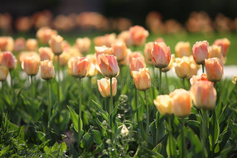 Blomsterrabatten med härliga tulpan i parkerar arkivbilder