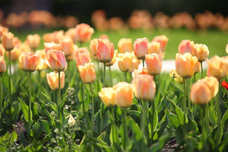 Blomsterrabatten med härliga tulpan i parkerar royaltyfri foto