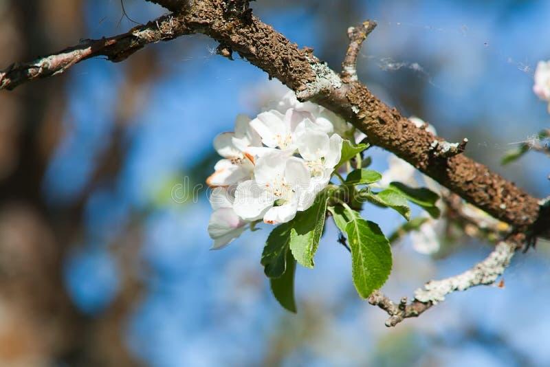 Download Blomstra äppleträdet fotografering för bildbyråer. Bild av onormala - 37345495