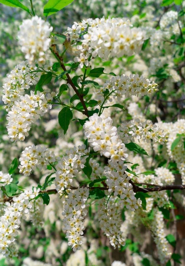 Blomstra äppleträdet, filialer och blommor Natur arkivfoto