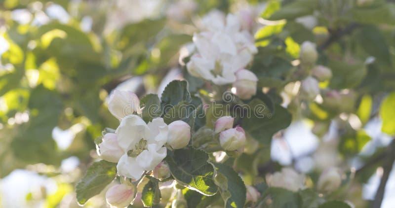 Blomstra äppleträdet i en trädgård på en varm sommardag royaltyfria foton