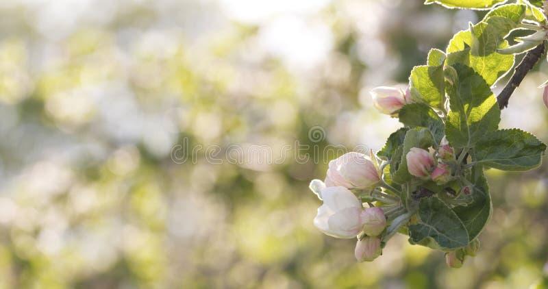 Blomstra äppleträdet i en trädgård på en varm sommardag royaltyfri bild