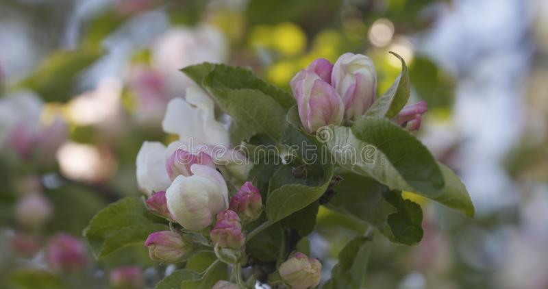 Blomstra äppleträdet i en trädgård på en varm sommardag arkivbilder
