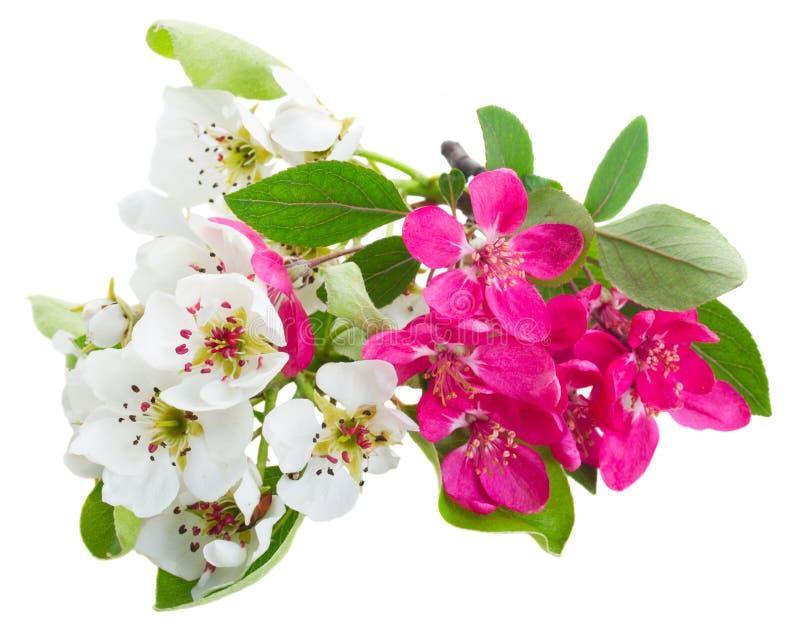 Blomstra Apple och blommor för körsbärsrött träd fotografering för bildbyråer