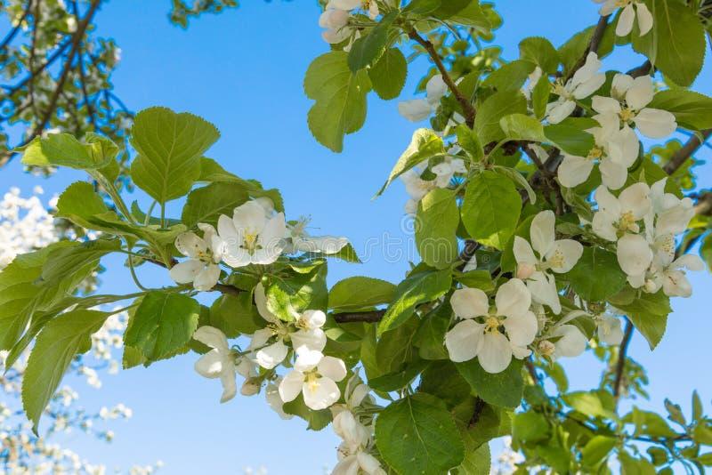 Blomstra av ettträd Grodno royaltyfria foton