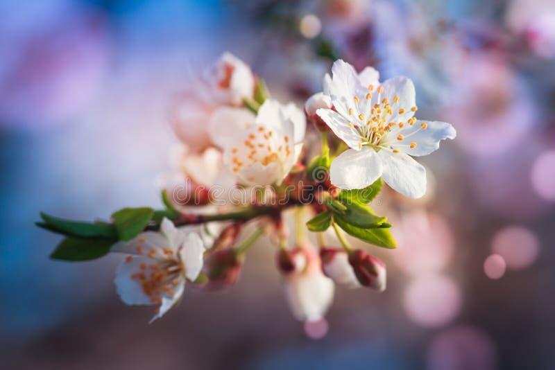 Blomstra av fruktträdet under våren Beskåda närbilden av filialen med vita blommor och knoppar i ljusa färger arkivfoto