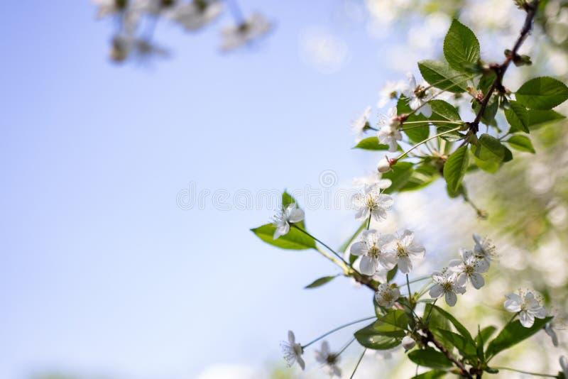 Blomstra av k?rsb?rsr?da blommor i v?rtid med gr?na sidor, makro, ram royaltyfri fotografi