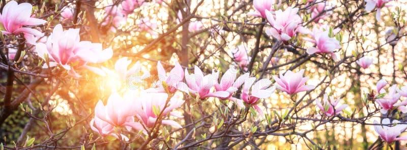 Blomstra av rosa blommor för magnolia i vårträdgård, naturlig bakgrund för tapet fotografering för bildbyråer