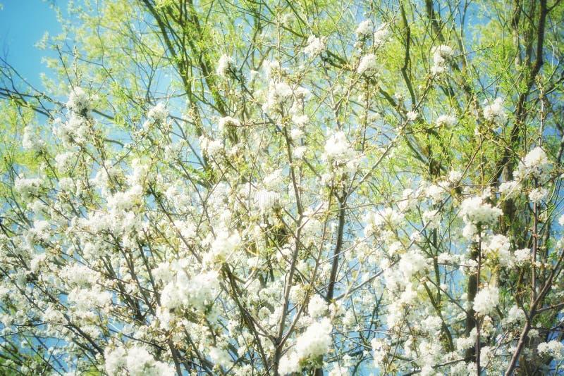 Blomstra av träd på våren royaltyfria bilder
