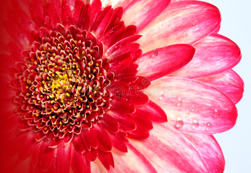 Blomstra blommagerberaen royaltyfria bilder
