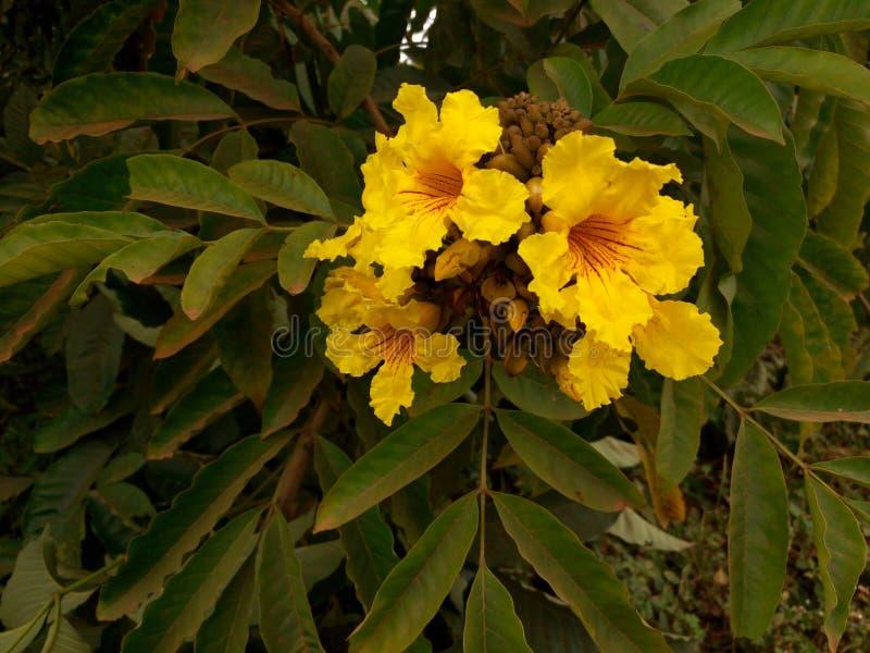 Blomstra blomman, Kampala, Uganda arkivfoton