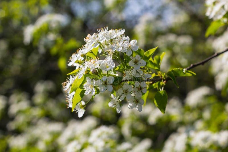 blomstra blommatreewhite royaltyfria bilder