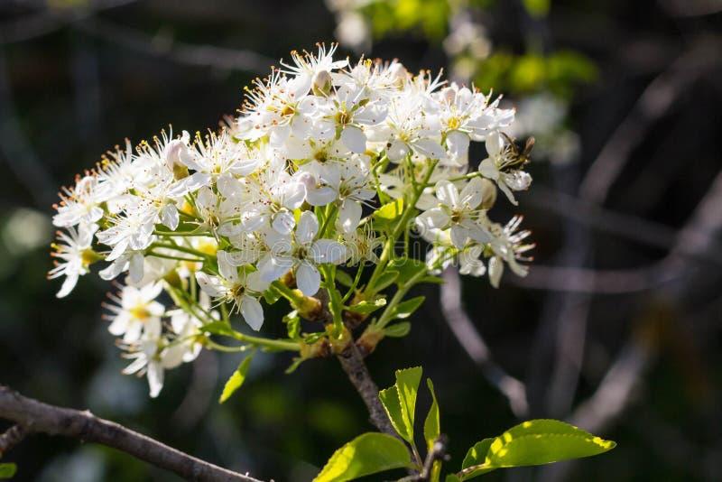 blomstra blommatreewhite fotografering för bildbyråer