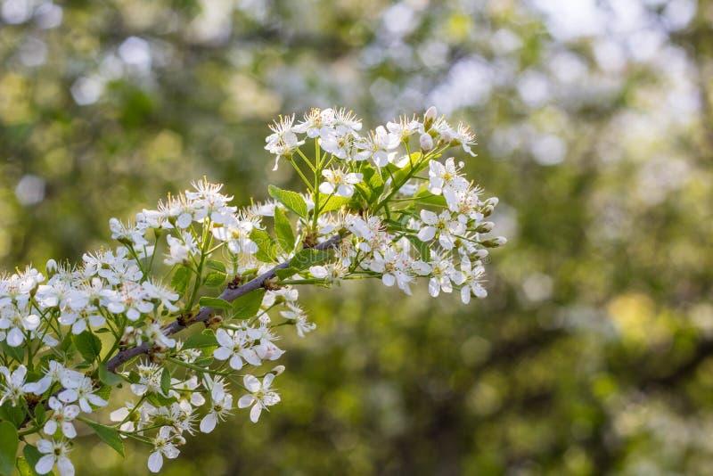 blomstra blommatreewhite royaltyfri bild