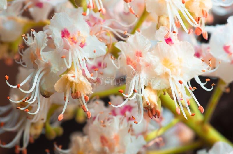 Blomstra blommor av den kastanjebruna closeupen, vår royaltyfria foton