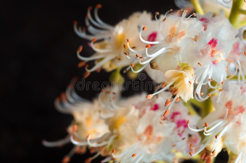 Blomstra blommor av den kastanjebruna closeupen, vår royaltyfri fotografi