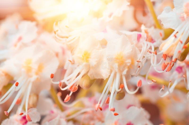 Blomstra blommor av den kastanjebruna closeupen, vår arkivbilder