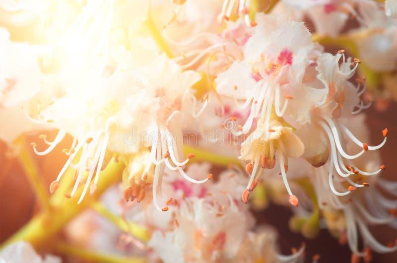Blomstra blommor av den kastanjebruna closeupen, vår arkivfoton