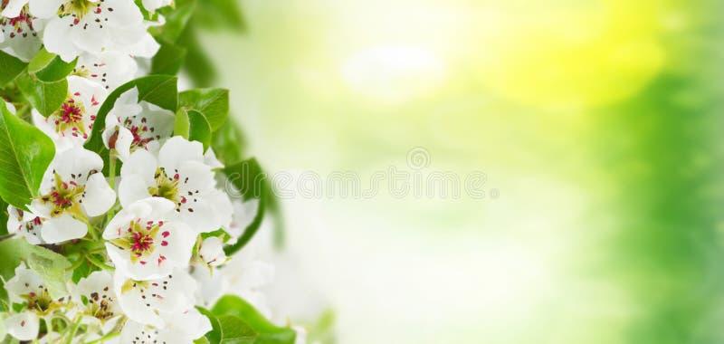 Blomstra blommor för Apple träd fotografering för bildbyråer