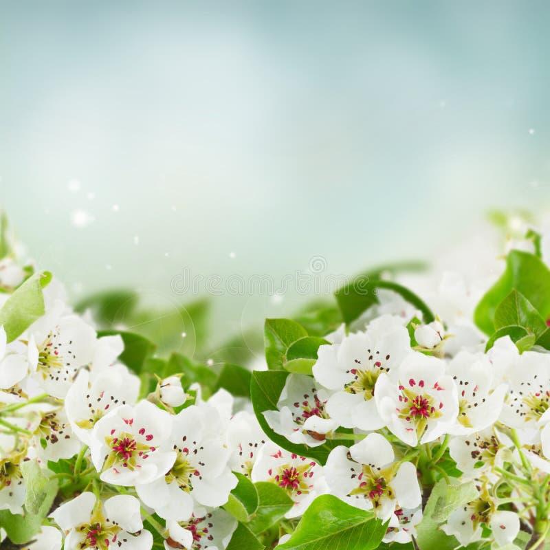 Blomstra blommor för Apple träd arkivfoton