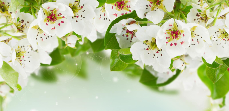 Blomstra blommor för Apple träd arkivbilder