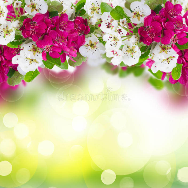Blomstra blommor för Apple träd royaltyfri fotografi