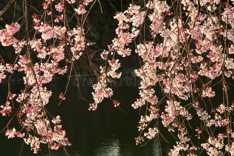 blomstra Cherryet royaltyfri bild