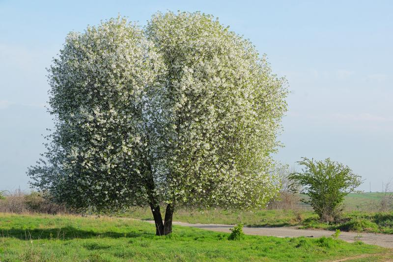 blomstra Cherrytree royaltyfri fotografi