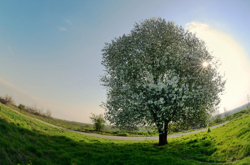 blomstra Cherrytree arkivfoton