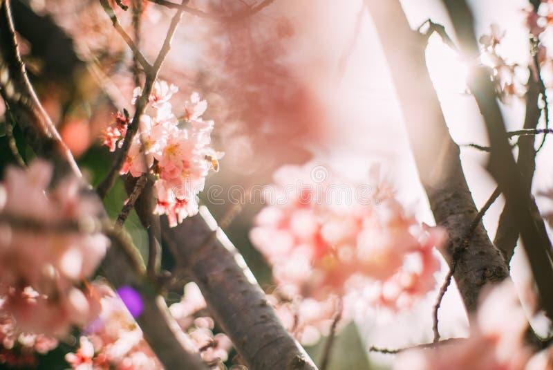 Blomstra Cherrytreefilial arkivfoton