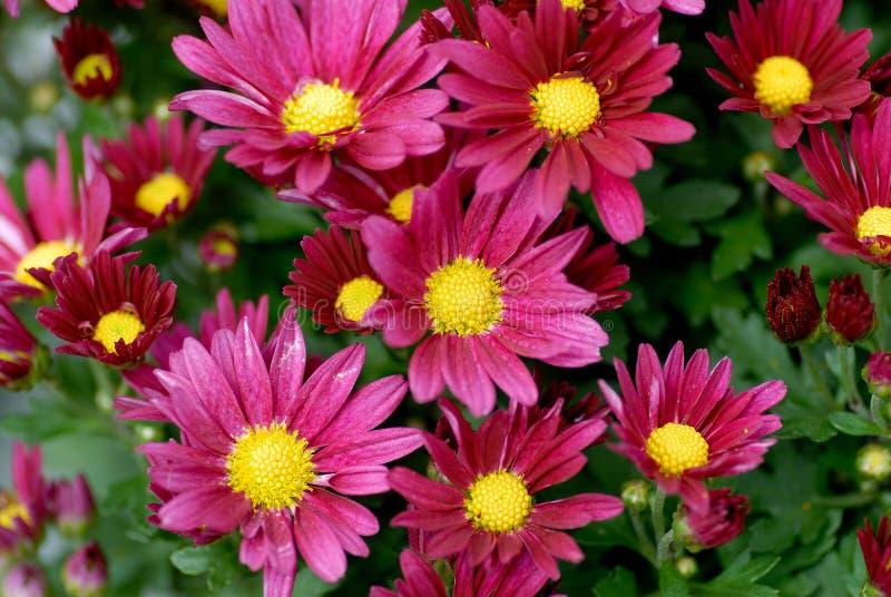 blomstra chrisanthemum fotografering för bildbyråer