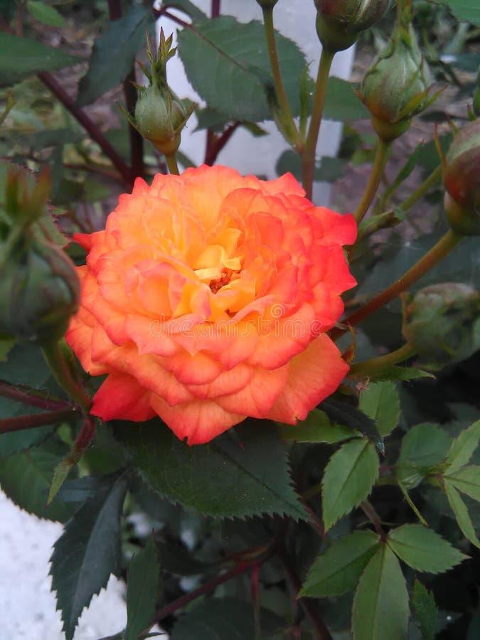 blomstra closeup detailed rose struktur för blomma arkivbild