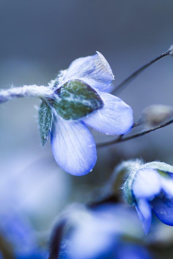 Blomstra den blåa anemonen royaltyfri fotografi