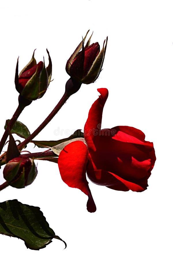 Blomstra den röda blomman och tre knoppar av den röda rosen Stadt Eltville, Tantau 1990 på vit bakgrund arkivbilder