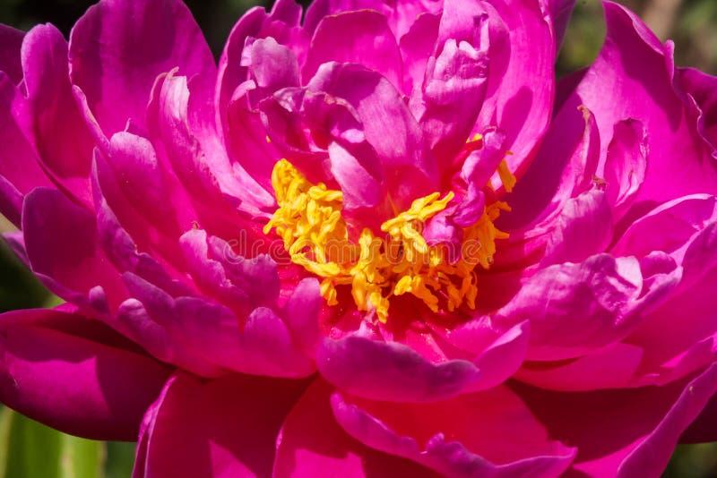 Blomstra den rosa pionen royaltyfri bild