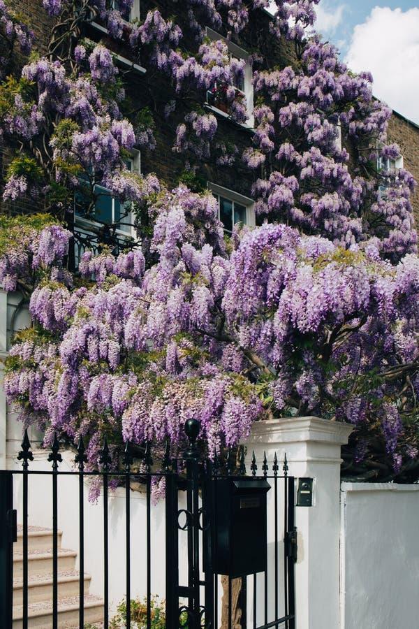 Blomstra den täckande övre fasaden för wisteriaträd av ett hus i London, UK arkivbilder