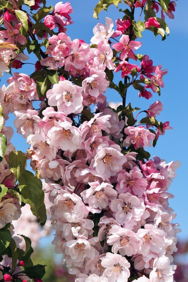 Blomstra det columnar äppleträdet arkivfoto